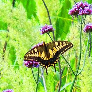 夏の蝶の俳句と季語